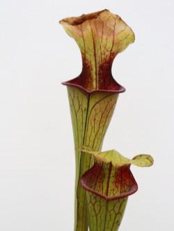 Sarracenia oreophila  O15 MK