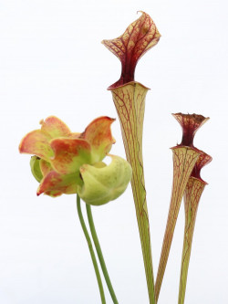 Sarracenia oreophila , very heavy veined