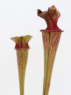 Sarracenia oreophila   Marsure clone