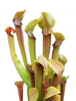 Sarracenia rubra subsp. rubra  RR1