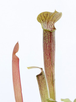 Sarracenia rubra subsp. wherry  RW6 MK