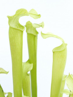 Sarracenia rubra subsp. gulfensis  f. heterophylla