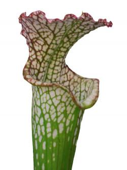Sarracenia leucophylla  L63 MK