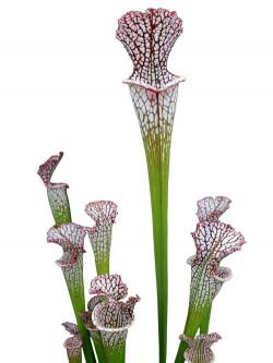 Sarracenia leucophylla  L23 MK