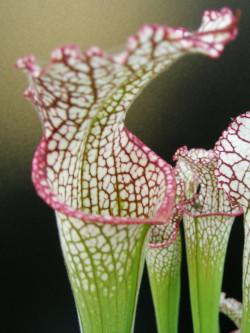 Sarracenia leucophylla  L40 MK