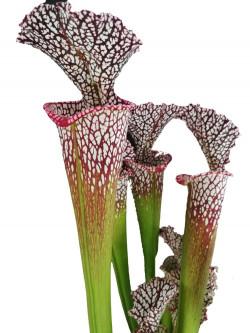 Sarracenia leucophylla  L31A Srba