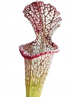 Sarracenia leucophylla  L67 MK