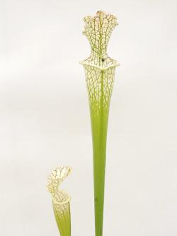 Sarracenia leucophylla  L97 MK