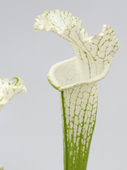 "Leucophylla ""Alba"" from seed (Klein)"
