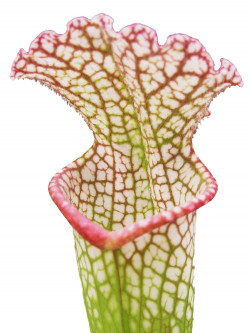Sarracenia leucophylla  L104D MK