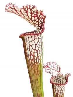 Sarracenia leucophylla  L41 MK