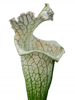Sarracenia leucophylla  L78 MK