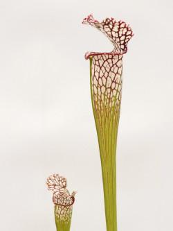 """Sarracenia leucophylla  """"finestre grandi""""  AA"""