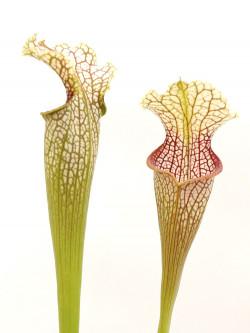 Sarracenia leucophylla  L101 MK