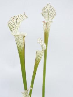 Sarracenia leucophylla  L62 MK
