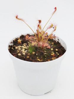 Drosera affinis