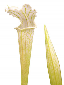 Sarracenia leucophylla  L07 PJ Plants