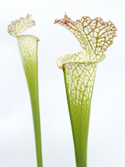 Sarracenia leucophylla  SL52 AC