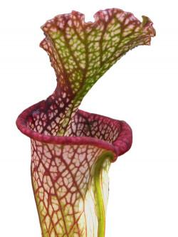 Sarracenia leucophylla  SL27 AC