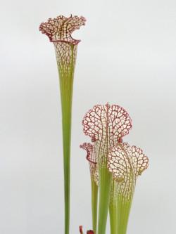 "Sarracenia leucophylla "" Pubescent pink """