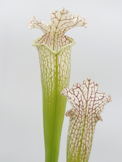 Sarracenia leucophylla  L22A Srba