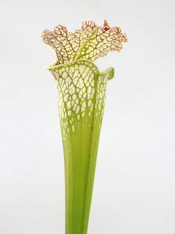 Sarracenia leucophylla  L35 MK