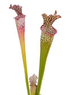 Sarracenia leucophylla  L21C Srba