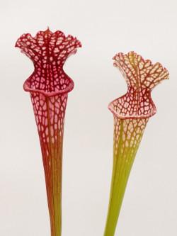 "Sarracenia leucophylla  ""Pink tube""  Baldwin Co."