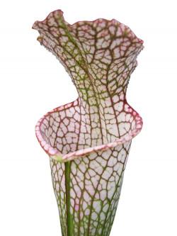 "Sarracenia leucophylla "" red tube "" Srba"
