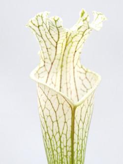 Sarracenia leucophylla  L2 MK x L14 PW