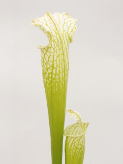 Sarracenia leucophylla  L10 PW