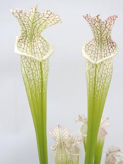 Sarracenia leucophylla  SL94 AC