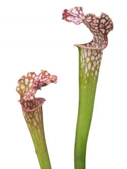 "Sarracenia leucophylla  ""Giant""  L77C MK"