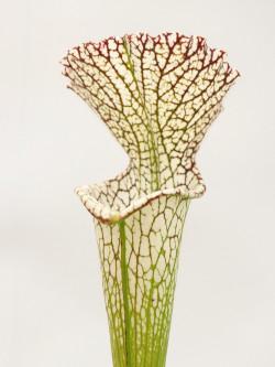 Sarracenia leucophylla  L11/3 PW