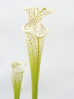 Sarracenia leucophylla  , Splinter Hill  (Meeting Bonn)