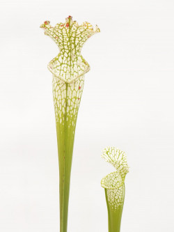 Sarracenia leucophylla  Hurricane Creek White clone E