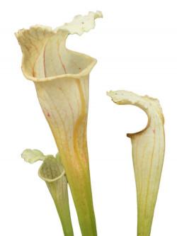 "Sarracenia leucophylla "" Ghost """