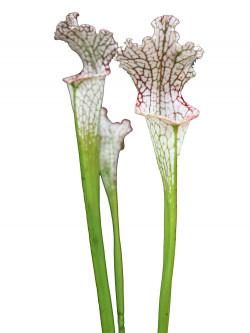 """Sarracenia leucophylla """" China """""""