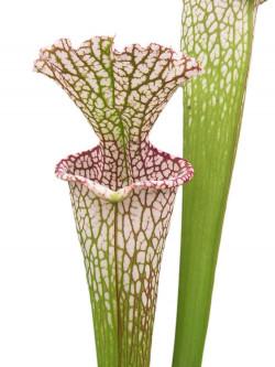 "Sarracenia leucophylla "" Giant "" L30A Srba"