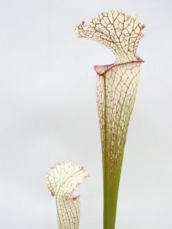 Sarracenia leucophylla  LE44 RVO