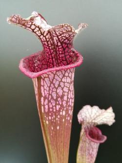 """L1 GC  Sarracenia leucophylla """" Cinerina """""""