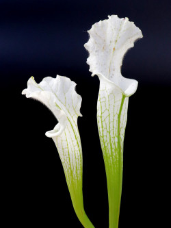 "L2 GC  Sarracenia leucophylla var. alba "" Snowflake """