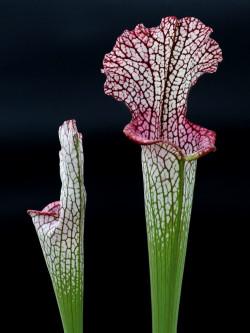 """L3 GC  Sarracenia leucophylla """" Viper """""""