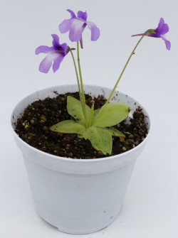 Pinguicula macroceras , Japan