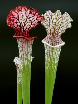 """L5 GC  Sarracenia leucophylla """" Hot pink selection """""""