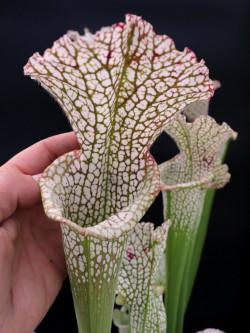 "L6 GC  Sarracenia leucophylla "" Reptile """