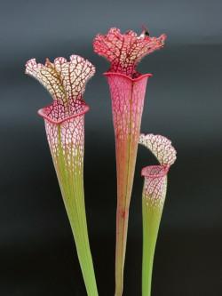 L8 GC  Sarracenia leucophylla