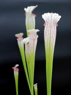 L10 GC  Sarracenia leucophylla