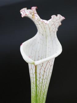 L13 GC  Sarracenia leucophylla var. alba