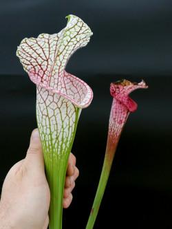 L15 GC  Sarracenia leucophylla